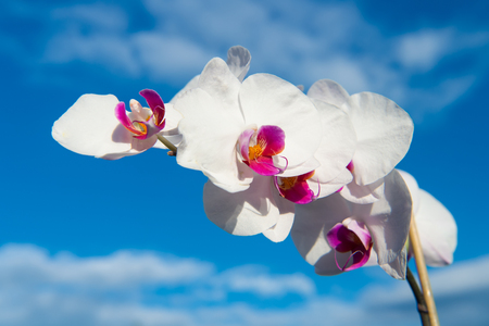 background pattern: orchidea. Orchid flower white on blue sky background. Phalaenopsis Orchid flower. Floral background.