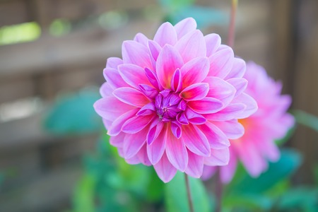 Dahila pink color , deep focus.Dahlia is a genus of bushy, tuberous, herbaceous perennial plants native mainly in Mexico, but also Central America, and Colombia. 스톡 콘텐츠 - 90150099