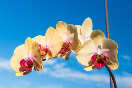 Orchid flower yellow on blue sky background. Phalaenopsis Orchid flower. Floral background.
