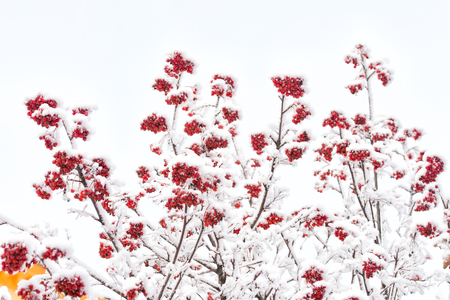 Branches with red berries in frost. Rowan tree covered with snow. Christmas or new year concept. Winter nature background. Season greetings and holidays celebration.
