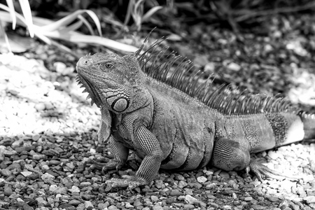 Lizard iguana with spines sitting on grey stones in Honduras on sunny day on natural background. Wildlife, wild animals and nature concept Stock Photo