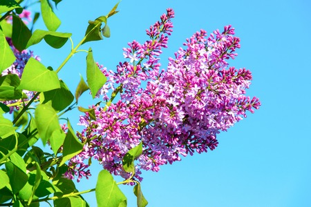 Spring season concept magnolia tree in violet flowers on sunny 96001205 lilac flowers blossoming on tree on sunny blue sky blossom bloom flowering spring season concept nature beauty environment mightylinksfo
