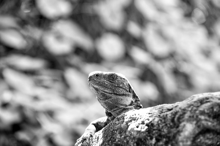 Lizard iguana sitting on grey stone in Honduras on sunny day on blurred green natural background. Wildlife, wild animals and nature concept Stock Photo