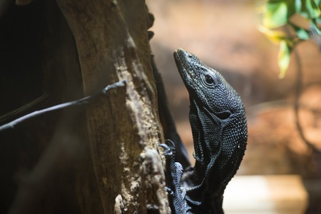 Black lizard rests on branch on nature background,