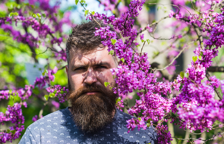 Man with beard and mustache on strict face near flowers on sunny day. Perfumery concept. Bearded man with fresh haircut posing with bloom of judas tree. Hipster enjoys spring near violet blossom