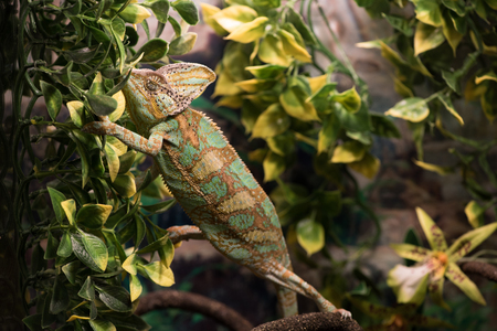 Chameleon rests on branches among leaves, close up.