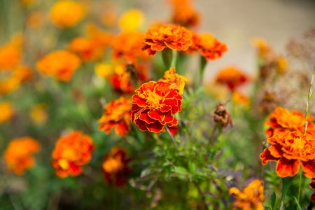 Marigold flowers in summer garden. Marigold blossom on blurred natural background. Blossoming flowers with yellow and orange petals. Nature and environment. Floral shop and design