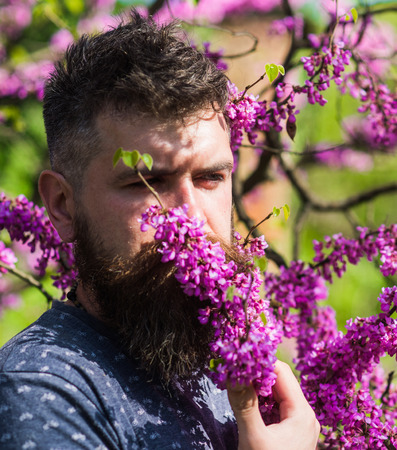 Man with beard and mustache on calm face near flowers on sunny day. Hipster enjoys aroma of violet blossom. Perfumery and fragrance concept. Bearded man with fresh haircut sniffs bloom of judas tree