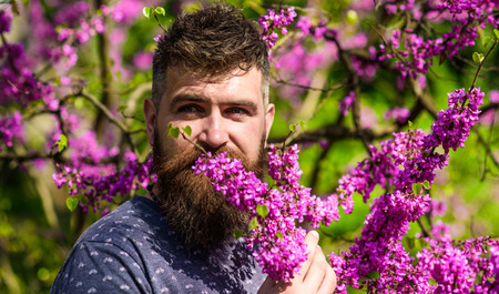 Bearded man with fresh haircut sniffs bloom of judas tree. Man with beard and mustache on calm face near flowers on sunny day. Hipster enjoys aroma of violet blossom. Perfumery and fragrance concept Standard-Bild
