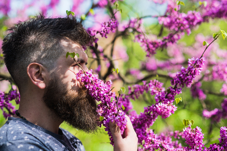 Man with beard and mustache on calm face near flowers on sunny day. Perfumery and fragrance concept. Bearded man with fresh haircut sniffs bloom of judas tree. Hipster enjoys aroma of violet blossom. Standard-Bild