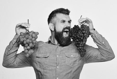 Farmer shows his harvest. Winemaking and autumn concept. Winegrower with wild face holds clusters of grapes. Man with beard holds bunches of black and green grapes isolated on white background