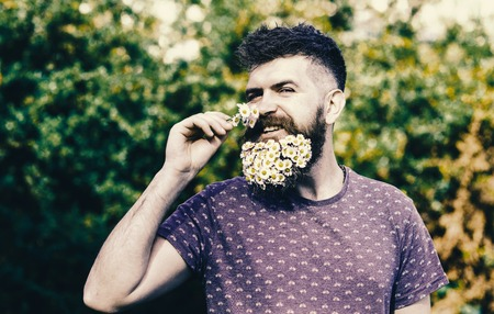 Hipster with bouquet of daisies in beard. Bearded man with daisy flowers in beard. Standard-Bild