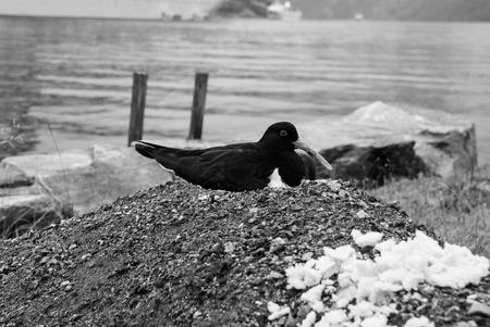 Bird on seascape in Geiranger, Norway. Eurasian Oystercatcher bird on rock on sea shore. Seabird animal wildlife. Nature, ecology environment. Wanderlust, vacation, trip 免版税图像