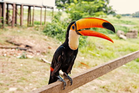 Toco toucan bird with big beak on natural Фото со стока