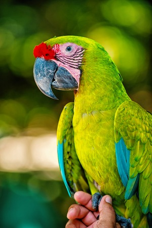 Beautiful cute funny bird of green  feathered ara macaw parrot outdoor on green natural
