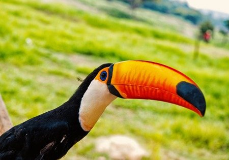 Toco toucan bird with big beak on natural Stock Photo