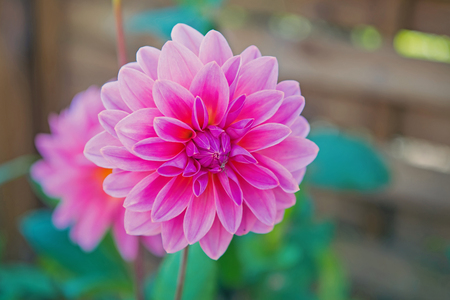 Dahila pink color , deep focus.Dahlia is a genus of bushy, tuberous, herbaceous perennial plants native mainly in Mexico, but also Central America, and Colombia. 스톡 콘텐츠 - 114006670