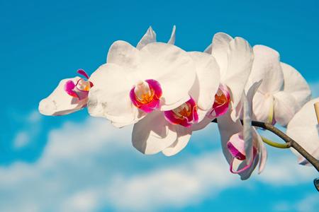 Orchid flower white on blue sky background. Phalaenopsis Orchid flower. Floral background. Reklamní fotografie