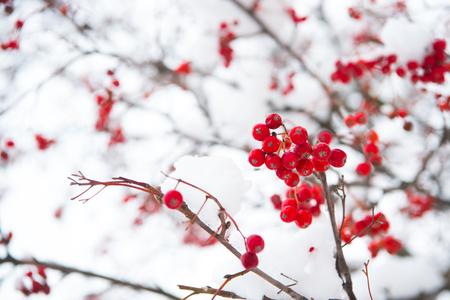 Rowanberry twig in snow.
