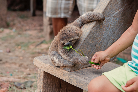 Sloth eating green plant from childs hand on wooden bench in boca de valeria, brazil. Wildlife and nature concept.