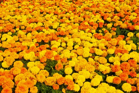 Marigold blossom on natural background. Marigold flowers in summer garden. Blossoming flowers with yellow and orange petals. Nature and environment. Floral shop. Summer mood.