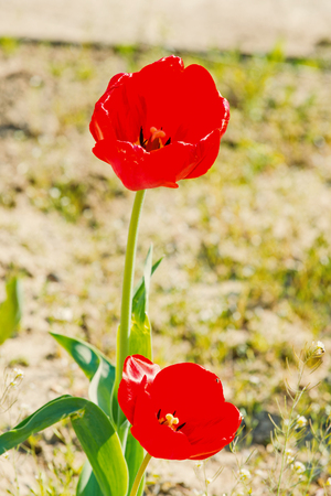 Love, passion, romance. Tulips with red petals blossoming on sunny day. Tulip flower garden in spring. Spring, summer season. Nature, beauty, environment Zdjęcie Seryjne