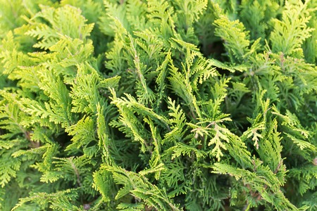 Green wall of cupressus tree as background texture. Natural wallpaper concept. Closeup of cupressus tree. Beauty of nature. Fresh branch of cupressus tree. Garden park and forest.