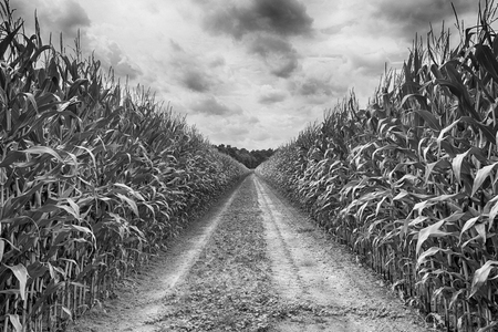 agricultural field with road on which the green corn grows, hdr Stock Photo