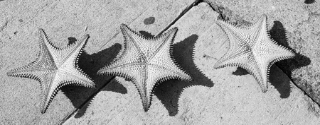 beautiful three caribbean starfish orange color on grey cement background sunny outdoor Stock Photo