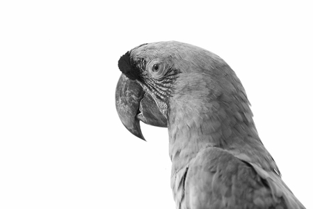 beautiful cute funny bird of red and green feathered ara parrot isolated on white background