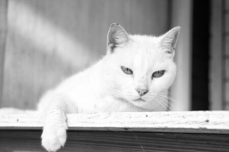 Adorable cat or kitten pet with white color fur laying on wood with cute eyes and ears, closeup