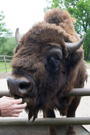 Its a zoo in here. Bison or wisent animal in petting zoo. Human hand feeding wild bison in zoo outdoor. European or american bison with horns in wildpark or zoo.