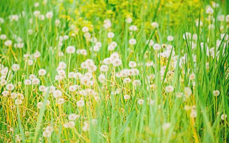 Natural background. Springtime concept. Many tender flowers in field. Dandelion soft bloom. Eco and organic. Dandelion in nature. Dandelion field. Fresh green grass and light white dandelion flowers.