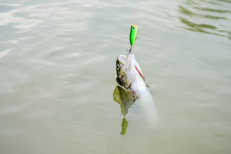 Fish open mouth hang on hook. Fish in trap close up. Bait spoon fishing accessory. Fish hook or fishhook is device for catching either by impaling in mouth. On hook. Trout caught. Good catch. Imagens