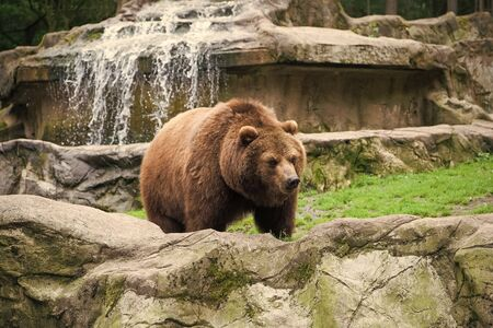 Save an animal today. Wild animal of the bear family in natural environment. Wild bear species. Brown bear on nature. Bear or ursus arctos. Dangerous predatory mammal. Фото со стока