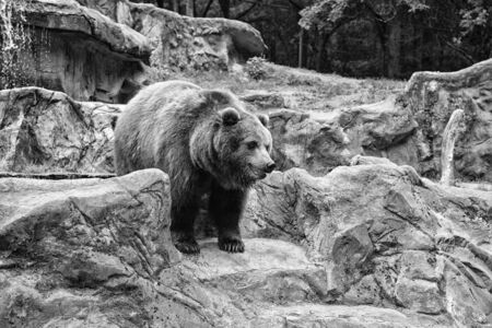Zoo concept. Animal wild life. Adult brown bear in natural environment. Animal rights. Friendly brown bear walking in zoo. Cute big bear stony landscape nature background. 写真素材