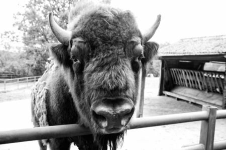 Bull bison closeup. Furry brown animal habits in summer outdoor on field in nature. Buffalo wildlife. Head with horns. Buffalo bull concept. Animal bull in zoo or shelter 写真素材