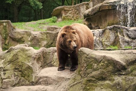 Wild animal life. Wild animal in natural environment. Wild bear species. Large brown bear in wild life