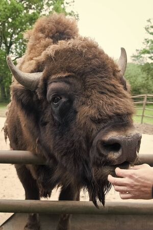 Its a zoo in here. Bison or wisent animal in petting zoo. Human hand feeding wild bison in zoo outdoor. European or american bison with horns in wildpark or zoo