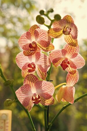 Phalaenopsis orchid. Floral concept. Orchid growing tips. How take care of orchid plants indoors. Most commonly grown house plants. Orchids blossom close up. Orchid flower pink and yellow bloom Stock fotó