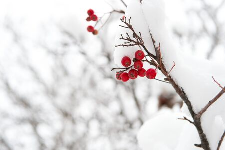 useful for your health. Rowanberry twig in snow. winter berry. Berries of red ash. Winter background. Frosted red berries. Red rowan in hoarfrost. Christmas rowan berry branch. Hawthorn berries bunch.