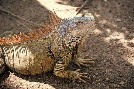 Stunning nature of Honduras. Tropical reptile. Lizard iguana in wildlife. Big lizard at Roatan Honduras. Wild animal in natural environment. Save biodiversity concept. Lazy lizard relaxing sunny day.