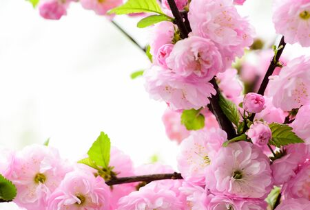 sakura blooming tree., natural floral background. beautiful spring flowers. pink cherry tree flower. new life beginning. nature growth and waking up. womens day. mothers day holiday. Time to relax.