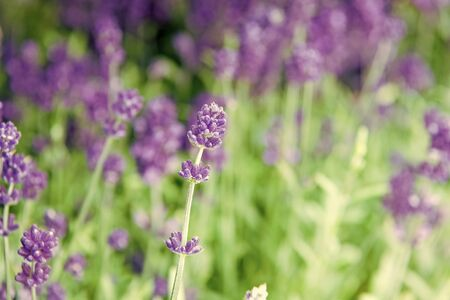 Lavender tender violet flowers. Lavender field. Gardening planting plants and botany. Floral shop. Growing lavender. Close up bushes of beautiful lavender. Aromatic flowers concept. Provence style.