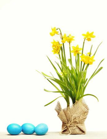 womens or mothers day, spring yellow narcissus flower on green stem in burlap, traditional easter blue egg isolated on white background, copy space Stockfoto