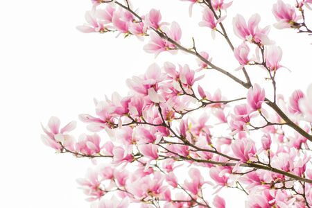Happy spring day. magnolia blooming tree., natural floral background. beautiful spring flowers. magnolia tree flower. new life beginning. nature growth and waking up. womens day. mothers day holiday.