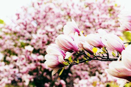 在春天的玉兰开花的花在庭院里