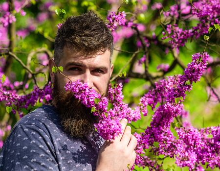 Bearded man with fresh haircut sniffs bloom of judas tree. Man with beard and mustache on calm face near flowers on sunny day. Perfumery and fragrance concept. Hipster enjoys aroma of violet blossom.