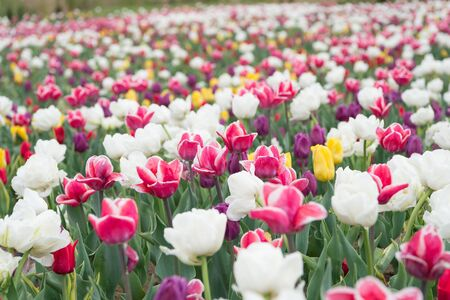 country of tulip. beauty of blooming field. famous tulips festival. Nature Background. group of colorful holiday tulip flowerbed. Blossoming tulip fields. spring landscape park. Only organic.