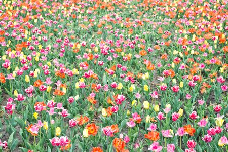 Look at it. tulips in garden. Magic spring landscape with flowers. Amazing tulips field in Holland. relax and stress management. tulips in spring. Spring floral background. Netherlands countryside